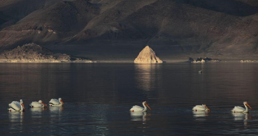 Pyramid Lake Pelicans on Parade
