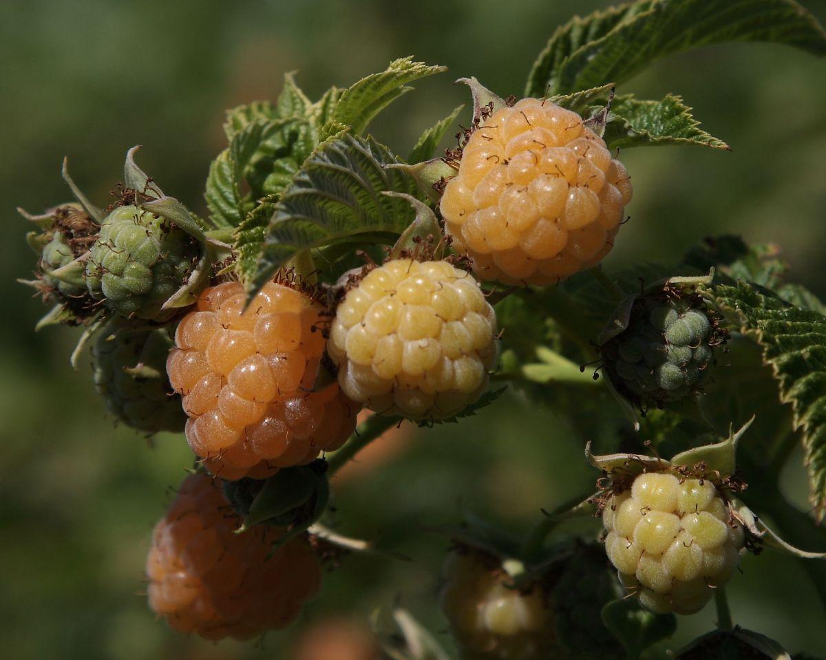 chalk-hill-berries