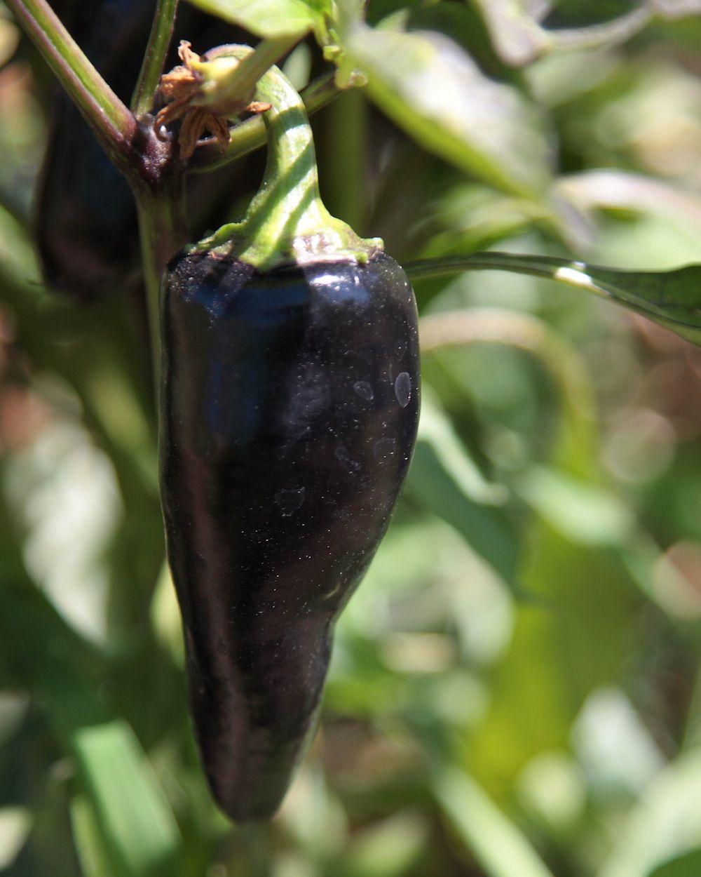 chalk-hill-eggplant
