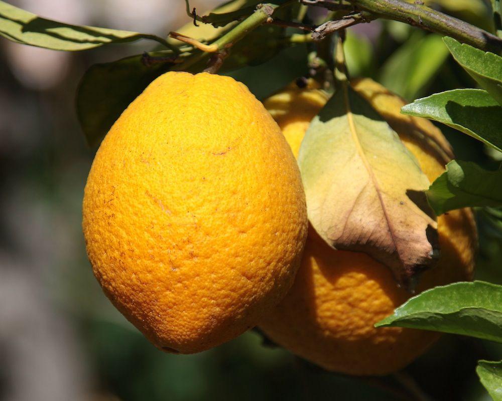 chalk-hill-fruit