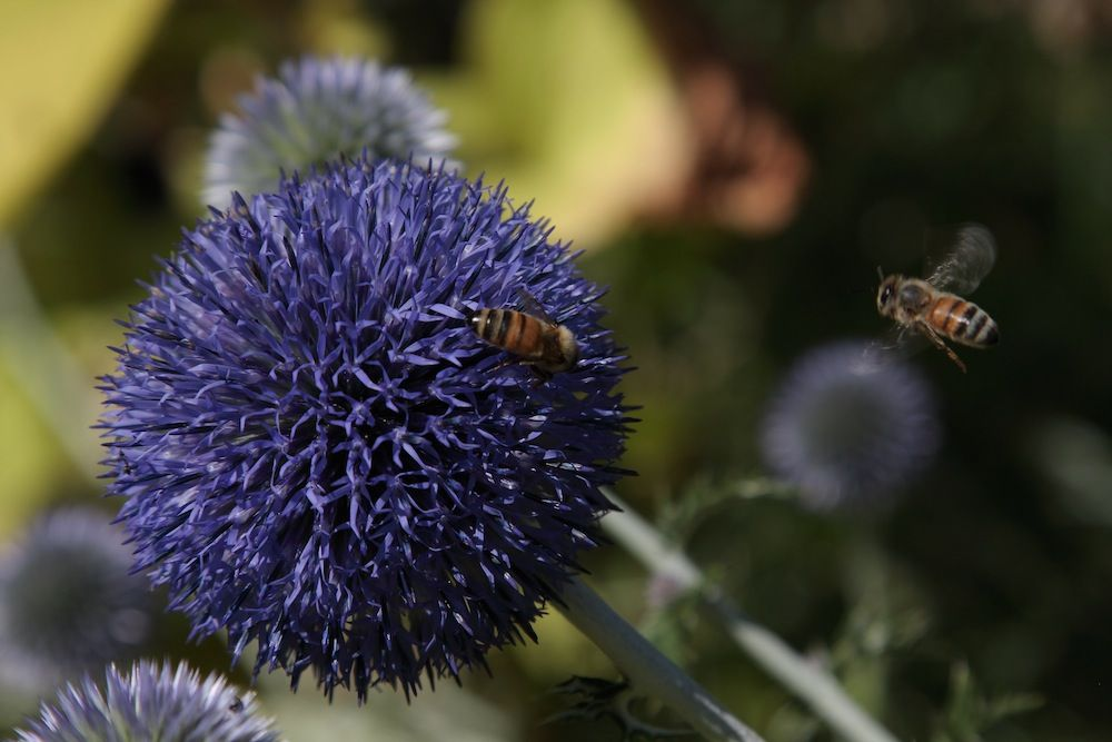 chalk-hill-globe-thistle-and-bees