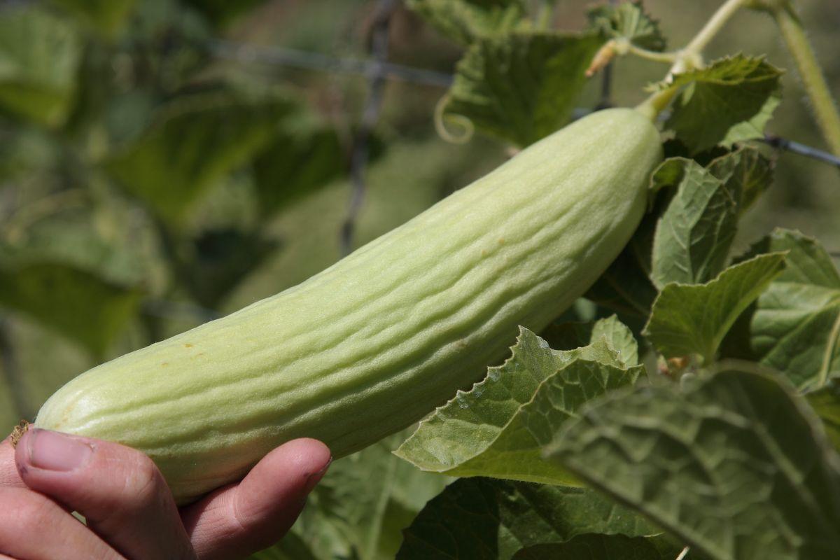 chalk-hill-hand-holding-vegetable-2