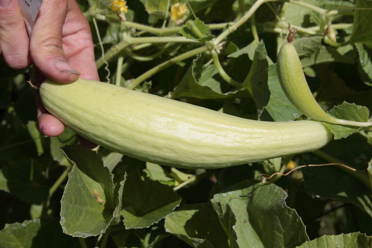 chalk-hill-hand-holding-vegetable