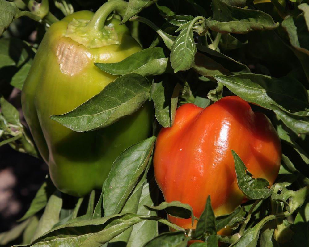 chalk-hill-peppers