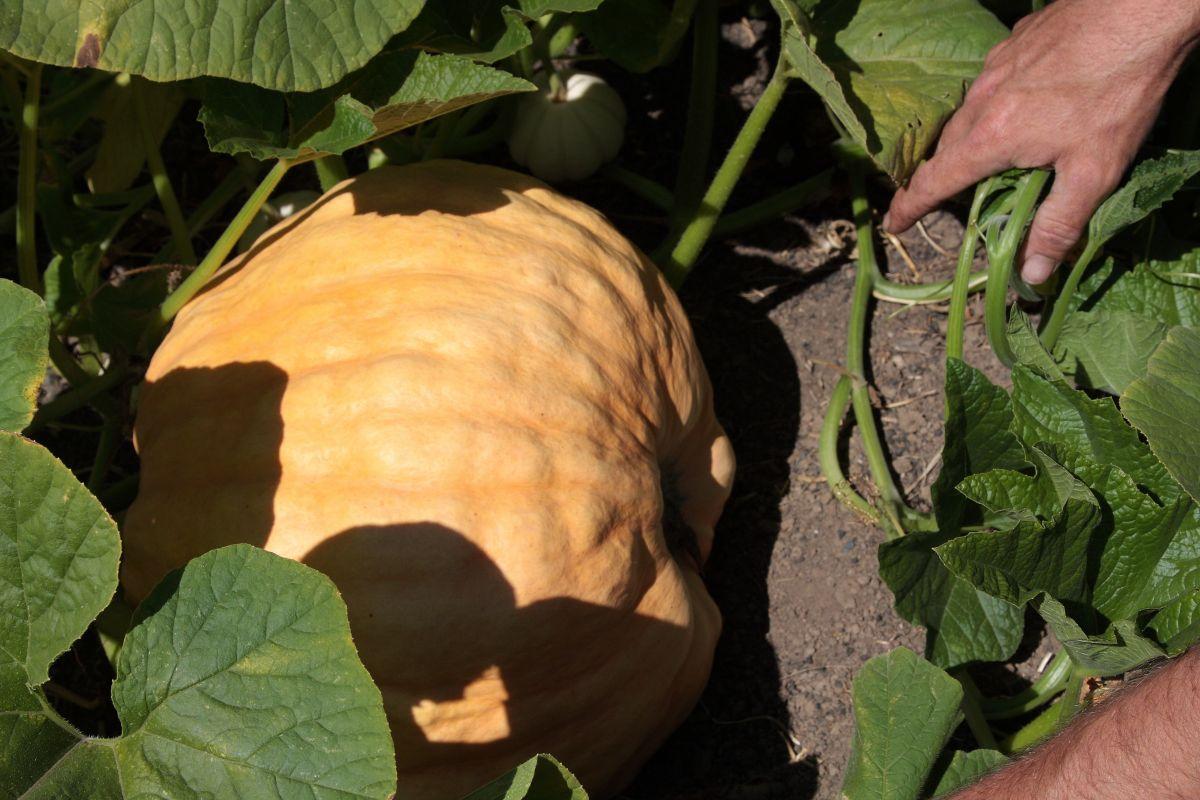 chalk-hill-pumpkin