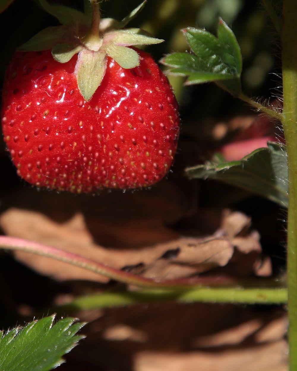 chalk-hill-strawberry