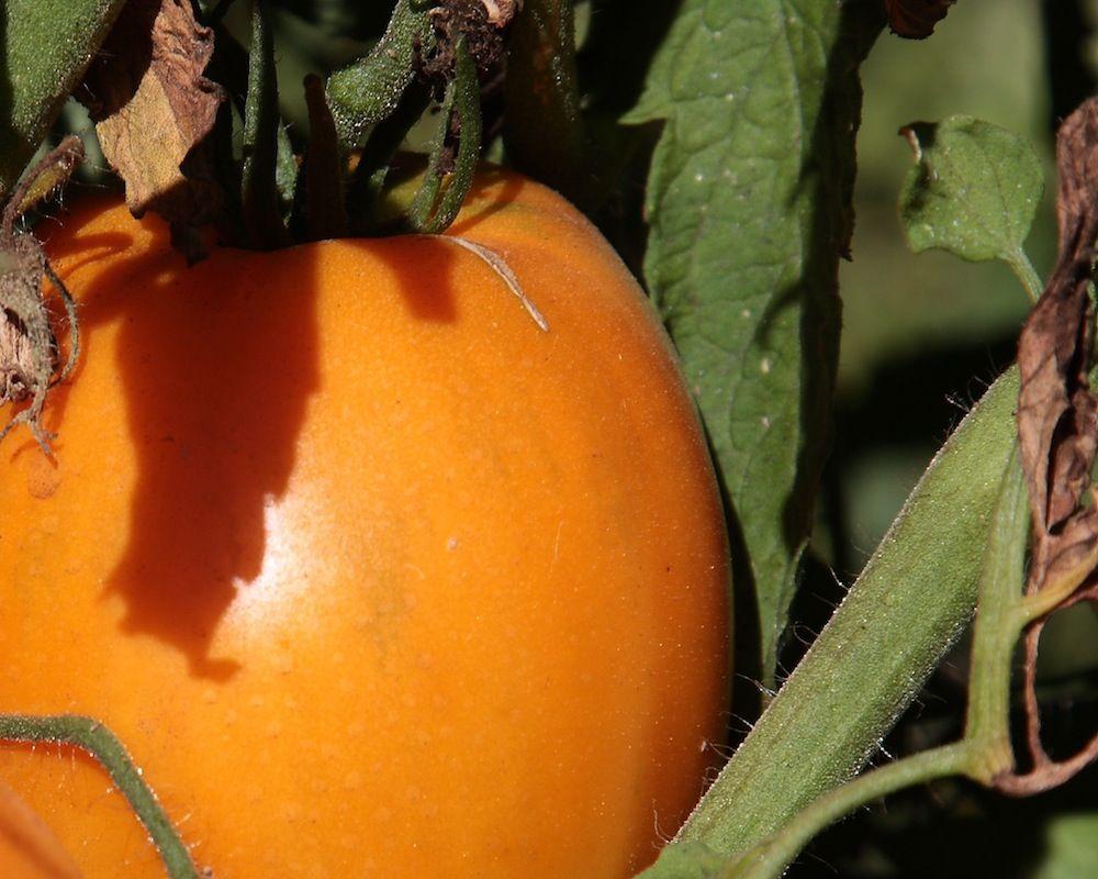 chalk-hill-tomatoe